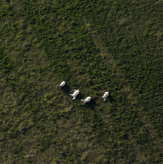 Scott's Appaloosas resting, near White Earth, North Dakota, May, 2011