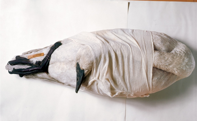 wrappedswan